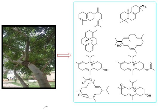 Identification and characterization of diterpenes from ethyl acetate fraction of stem barks of Boswellia papyrifera (del) hochst, sudanese medicinal plant