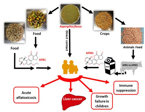 Public health impacts, animal health risk, and management of mycotoxins contaminating maize (Zea mays L.)