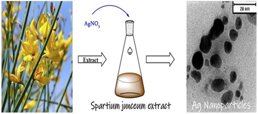Eco-friendly biosynthesis of silver nanoparticles using aqueous solution of Spartium junceum flower extract